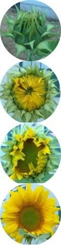 sunflower opening strip